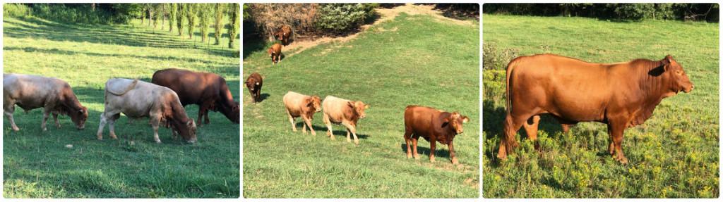 Cedar Hill Farm Beefmaster Bulls